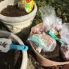 貧乏人の庭仕事、ユリ根はOKだけど、チューリップは食べられません。