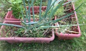 職場の50代優しい独身男性のこと、葱は植えっぱなしでも何度も生きかえる。
